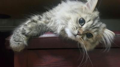 EasyDNA Feline PKD Testing