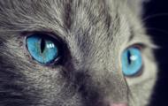 DNA Diagnostics Center – Veterinary DNA Test – Feline – PKD DNA Testing