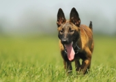 Dog-DNA – Wisdom Panel 2.5 Breed Test